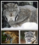 Brothers our smaller (Part 4) - Amazing Wild Cats Wallpapers [1024x768 - 1920x1200] [.jpg] [TB] [roberto92r]